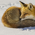 Red Fox Resting by Susan Candelario