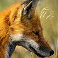 Red Fox by Sheryl Saxton