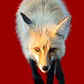 Red Fox Shirt by Greg Norrell