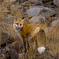 Red Fox Vixen   #3258 by J L Woody Wooden