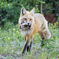 Red Fox Vixen Brings Home A Meal by Tony Hake