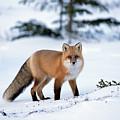 Red Fox Vulpes Vulpes Portrait by Konrad Wothe