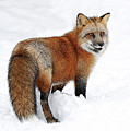 Red Fox Winter by Athena Mckinzie