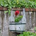 Red Geranium  by Image Takers Photography LLC - Carol Haddon