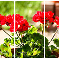 Red Geraniums Triptych by Cynthia Woods