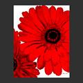 Red Gerber Border     Digital Art  by Marsha Heiken