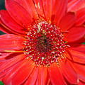 Red Gerber Daisy by Amy Fose