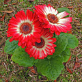 Red Gerbera Daisies by Marian Bell