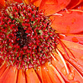 Red Gerbera Daisy by Amy Fose