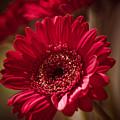Red Gerbera by Maria Heyens