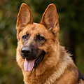 Red German Shepherd Dog by Sandy Keeton