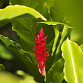 Red Ginger Flower by Ron Dahlquist - Printscapes