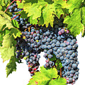 Red Grapes Seasonal Background by Benny Marty