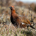 Red Grouse by Bob Kemp