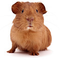Red Guinea Pig by Warren Photographic