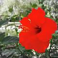 Red Gumamela  by Alexey Dubrovin
