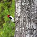 Red Head Bird by Cynthia Guinn