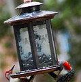 Red Head Wood Peckers On Feeder by Clayton Bruster
