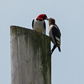 Red Headed Woodpeckers by Jan M Holden
