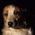 Red Heeler Portrait by One Rude Dawg Orcutt