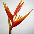 Red Heliconia by Tomas del Amo - Printscapes
