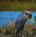 Red Heron by Kelly Kennon