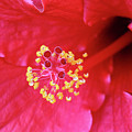 Red Hibiscus 3 by Elisabeth Lucas