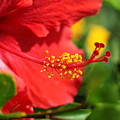 Red Hibiscus And Green by Nadine Rippelmeyer