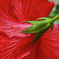 Red Hibiscus by Dennis Reagan
