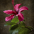 Red Hibiscus by Endre Balogh