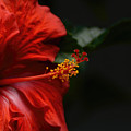 Red Hibiscus Flower On Dark Background 052120151656 by WildBird Photographs