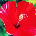 Red Hibiscus by Melinda Etzold