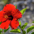 Red Hibiscus by Roberta Bragan