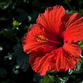 Red Hibiscus by Sally Weigand