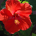 Red Hibiscus by Susanne Van Hulst