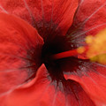 Red Hibiscus by Tomas del Amo - Printscapes