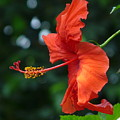 Red Hibiscus by Valerie Ornstein