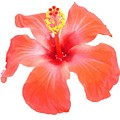 Red Hibiscus Vector Isolated by Taiche Acrylic Art