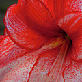 Red Hippeastrum Charisma by Philip Enticknap