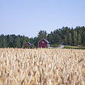 Red House Wheat Field by D R