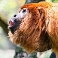 Red Howler Monkey Alpha Male by Jess Kraft