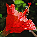 Red Hyacinth At Pilgrim Place In Claremont-california by Ruth Hager