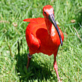 Red Ibis by Alex Antoine