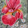 Red Iris by Sam Davis Johnson