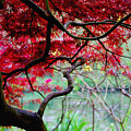 Red Japanese Maple by Nancy Bradley