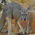 Red Kangaroo by Matthew Kramer