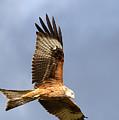Red Kite Flying by Bob Kemp