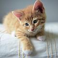 Red Kitten On A Beige Blanket by Tetyana Ustenko