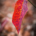 Red Leaf by Framing Places
