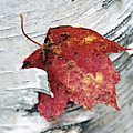 Red Leaf by George Oze